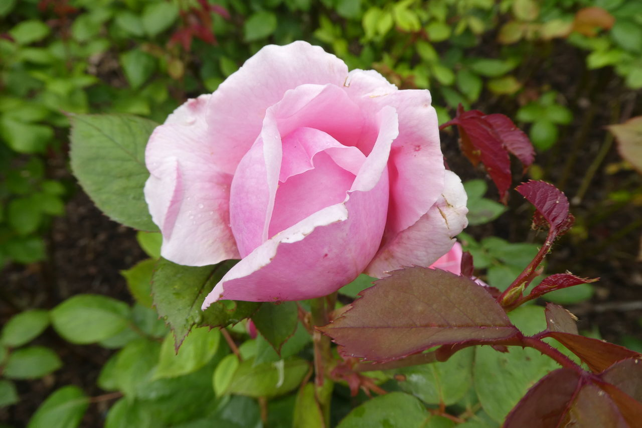 flower, petal, nature, pink color, beauty in nature, fragility, flower head, plant, growth, no people, wild rose, rose - flower, outdoors, day, close-up, freshness, leaf, blooming