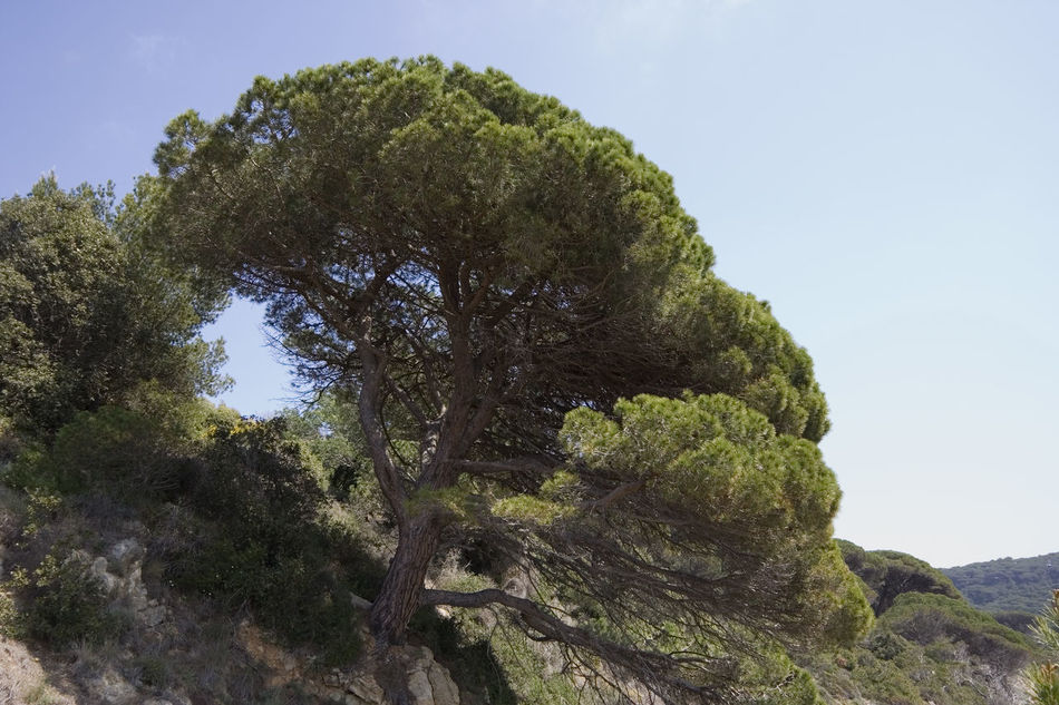 stone pine on the rocks - french riviera, mediterranean sea Beauty In Nature Clear Sky Coast Coniferous Tree Flora France Growth Landscape Low Angle View Lush Foliage Mediterranean  Nature Needle - Plant Part No People Pinaceae Pine Tree Pinus Pinea Provence Single Tree Spiky Stone Pine Tilt Tranquility Tree Umbrella Pine Tree