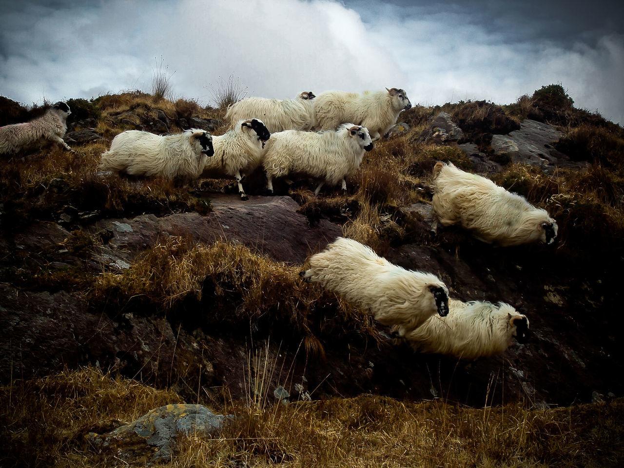 Beautiful stock photos of irland,  Animal Themes,  Cloud,  Cloud - Sky,  Day