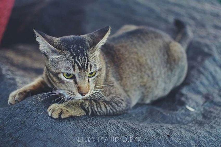 เมิน Cat Thecat ตลาดปากเกร็ด