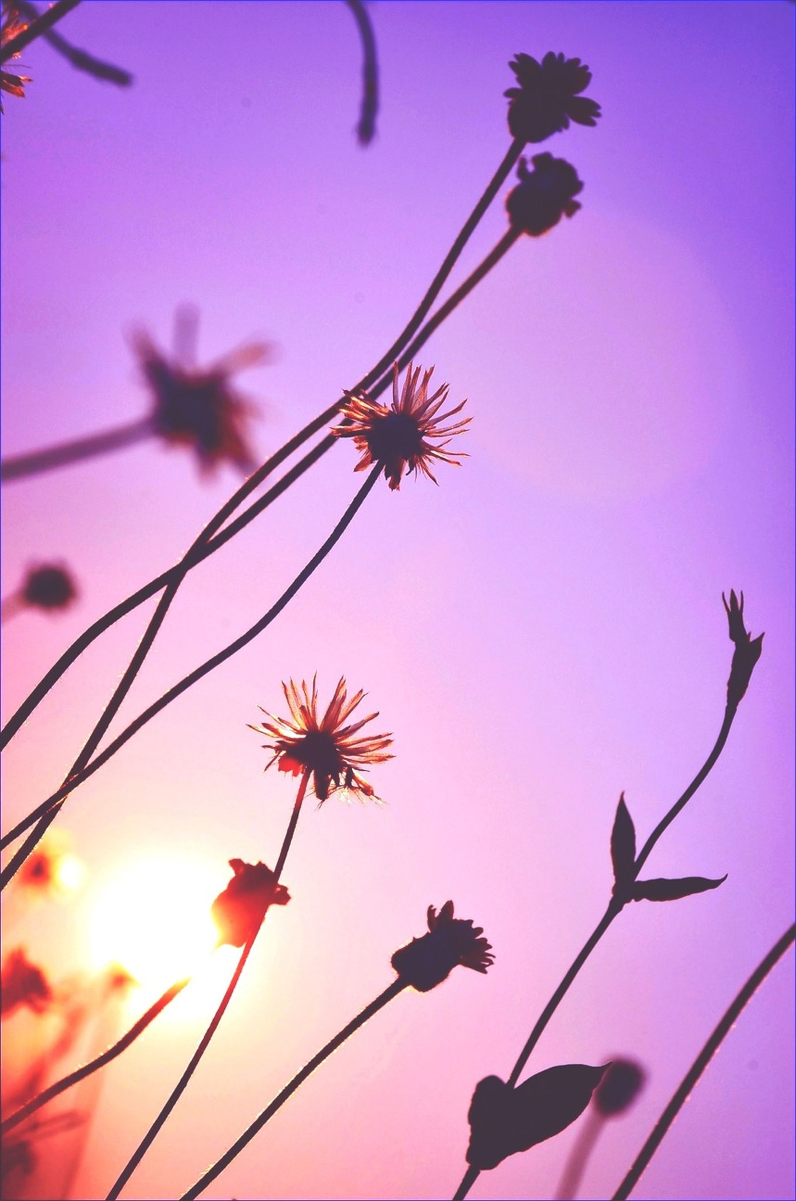 flower, growth, low angle view, freshness, nature, beauty in nature, stem, fragility, branch, focus on foreground, plant, twig, sky, close-up, pink color, sunset, outdoors, tree, bud, no people