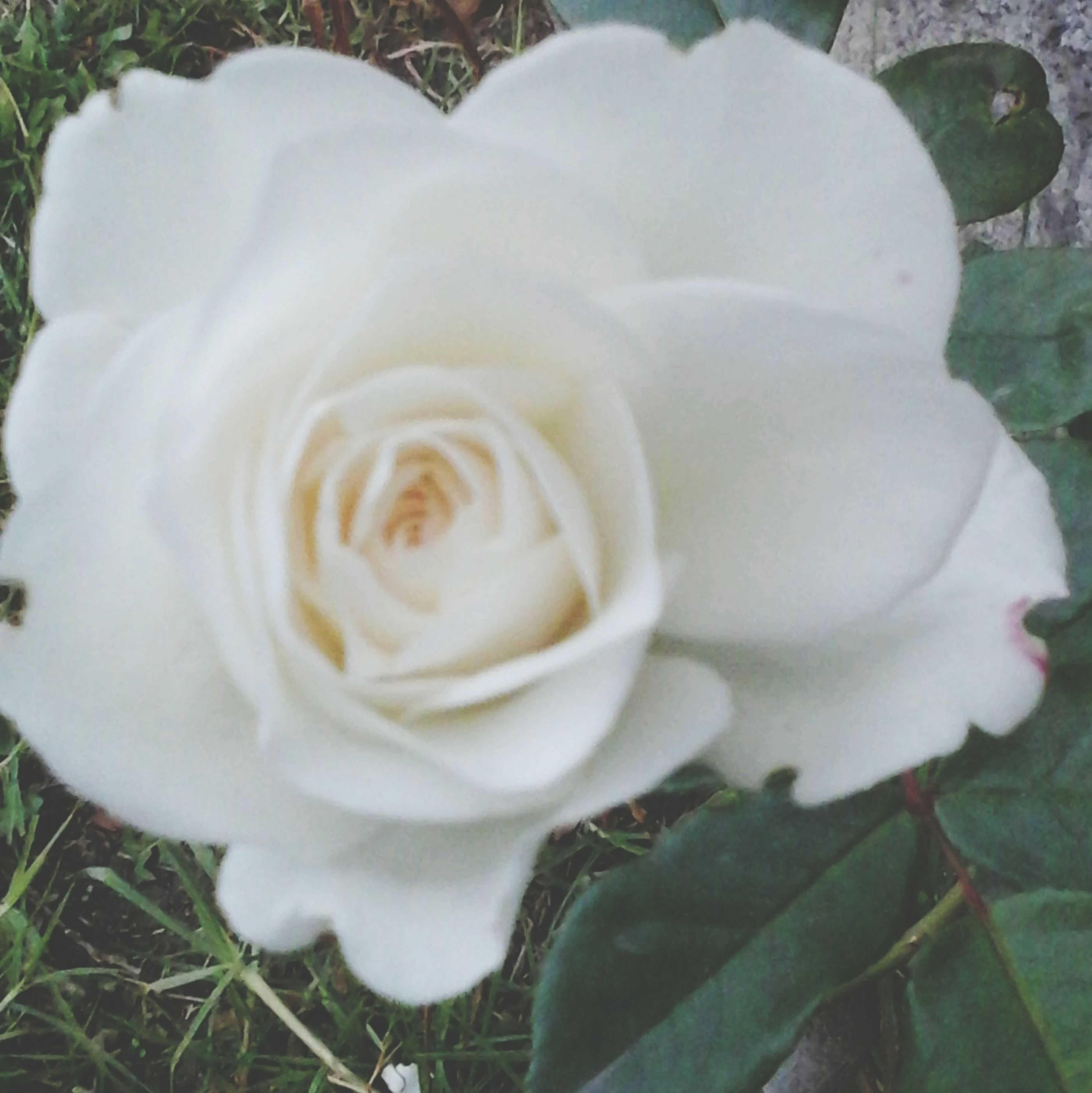 flower, petal, flower head, fragility, rose - flower, freshness, beauty in nature, single flower, growth, close-up, white color, rose, blooming, nature, high angle view, plant, in bloom, focus on foreground, single rose, no people
