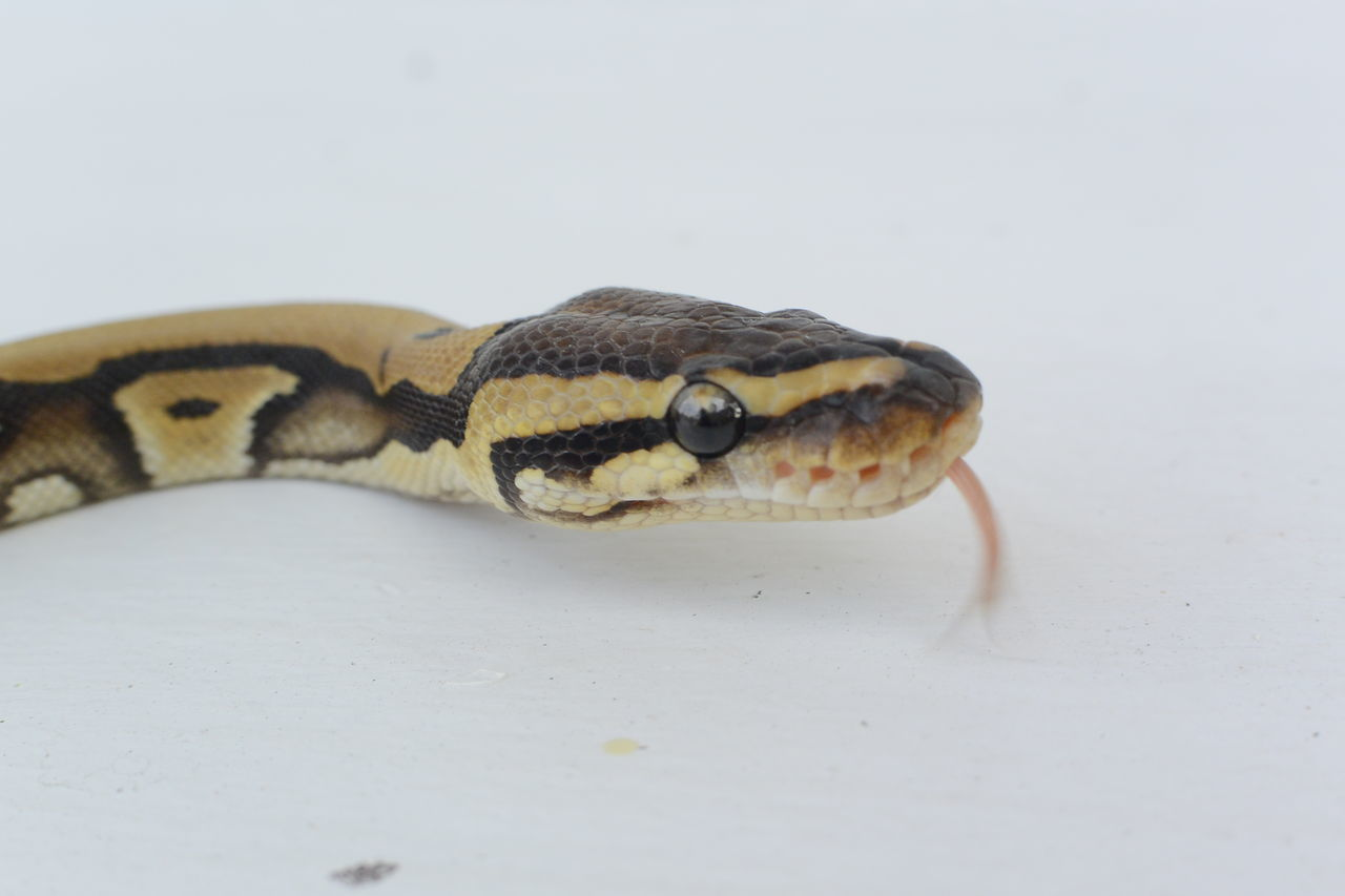 one animal, reptile, animal themes, close-up, animal wildlife, animals in the wild, no people, white background, nature, day