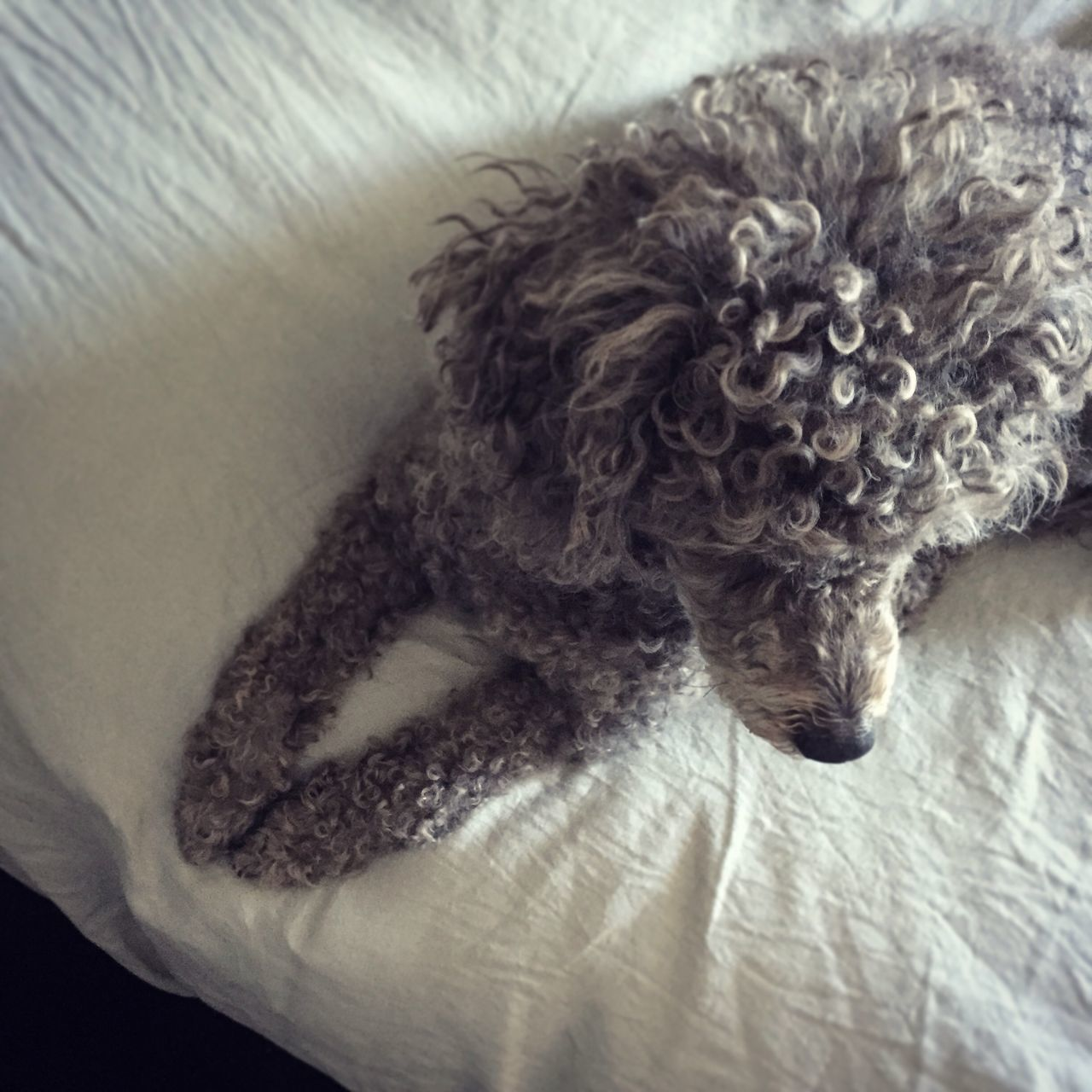 High Angle View Of Poodle Sitting On Bed