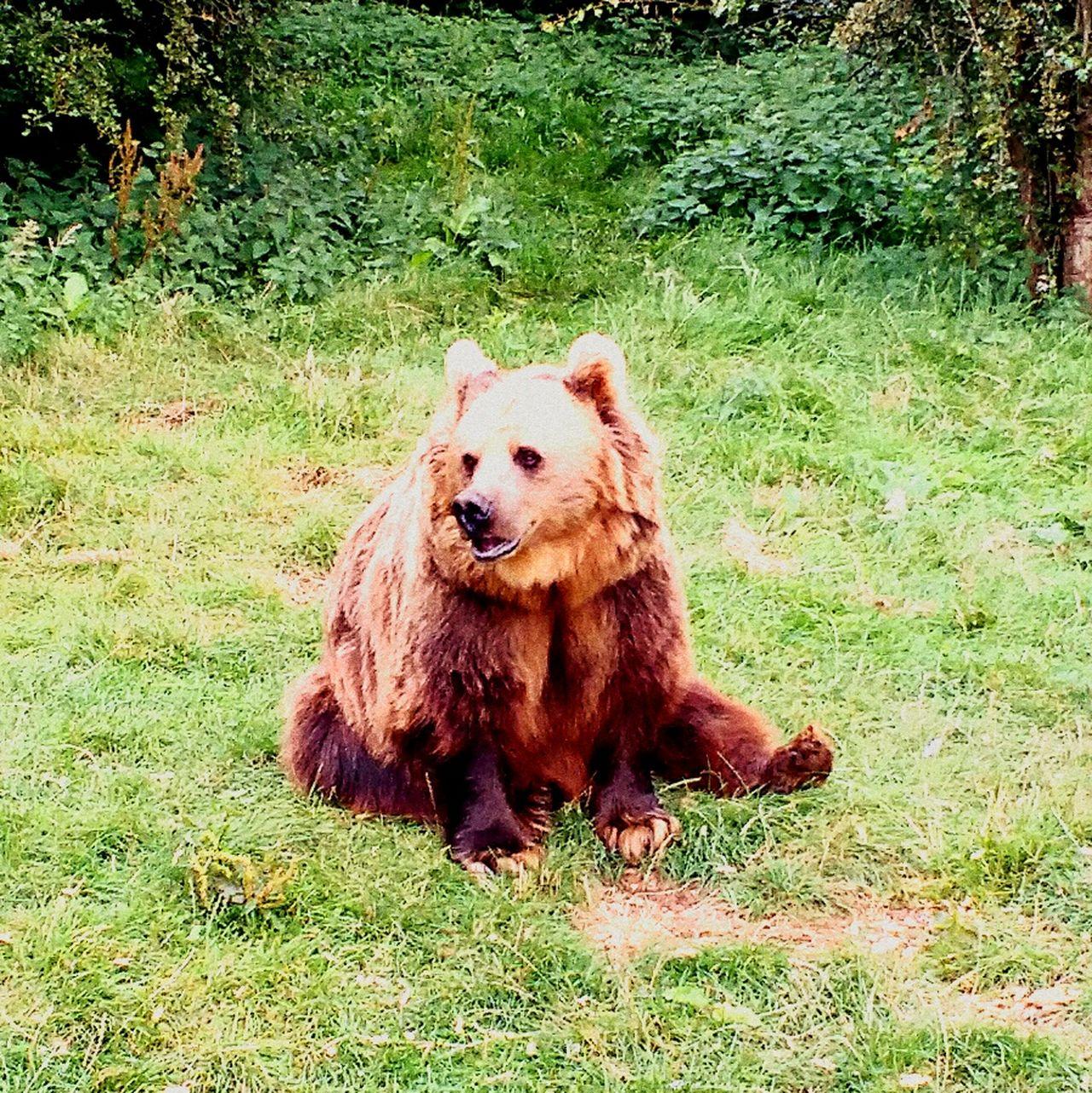Bear Brown Bear Wildanimal Wild Animal Wild Animals Up Close Bears Galore Bears Lovers Animal Animals In The Wild Wild Animal Photography Animal_collection Animal Wildlife Animal Portrait Wild Animals Close Up Bears Animal Photography