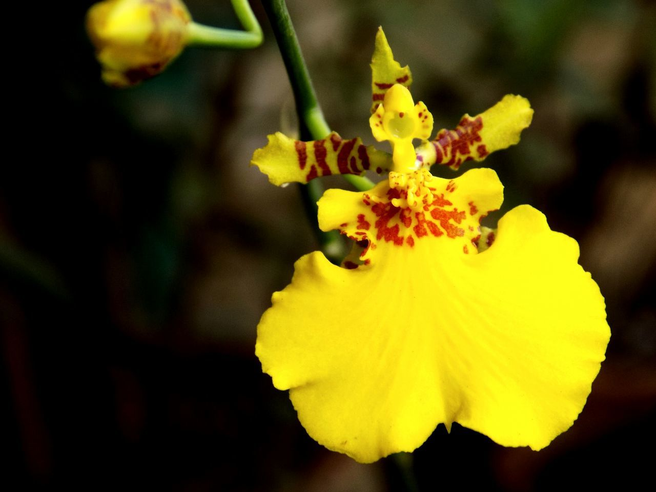 Dancing Lady Orchid On My Balcony Yellow Orchids Orchid Blossoms Flower Collection Flowers,Plants & Garden Flowers Flowers_collection Guwahati