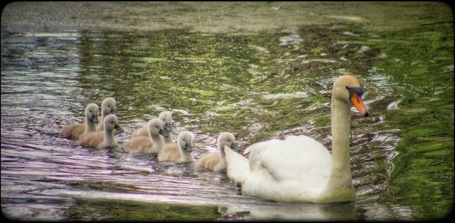 Lagan Canal Moira Northern Ireland Family Of Swans Swans Signets Spring Birds Cute EyeEm Birds Spring Has Arrived Spring EyeEm Nature Lover Baby Swans The Great Outdoors - 2016 EyeEm Awards Exceptional Photographs Our Best Pics EyeEm Gallery EyeEm Best Shots Natures Magic Beauty In Nature Nature Springtime Signet Waterfowl Natures Diversities