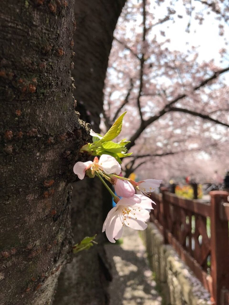 flower, tree, fragility, blossom, growth, nature, petal, beauty in nature, white color, freshness, botany, branch, springtime, flower head, day, no people, tree trunk, close-up, outdoors, blooming