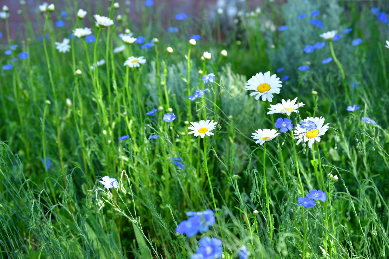 White Daisies and blue Forget-Me-Nots Beauty In Nature Blooming Close-up Day Flower Flower Head Flowerbed Fragility Freshness Green Color Growth Nature No People Outdoors Petal Plant Spring