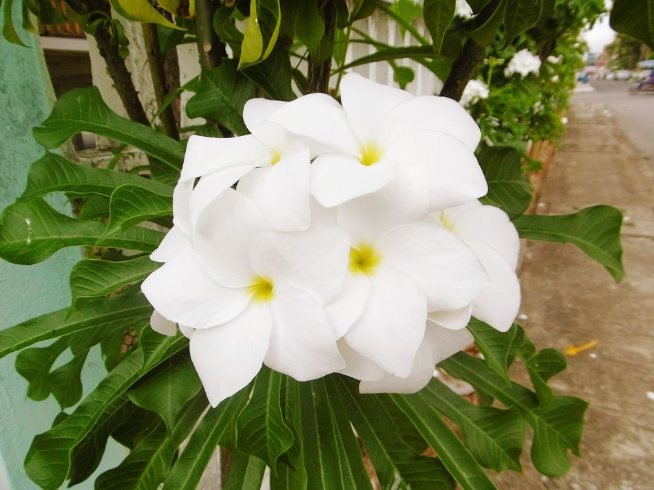 Flower Petal White Color Flower Head Plant Freshness Fragility Beauty In Nature Growth Blossom Springtime Outdoors Green Color White Flower Backgrounds High Angle View Frangipani Flower จำปา Leaf No People Growth Beauty In Nature Nature ลั่นทม