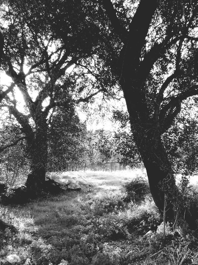 Olivetree Black And White
