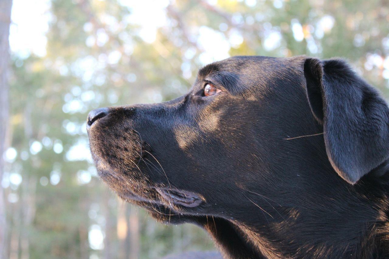 Dog Dogs Animal Pets Close-up Animal Head  Day Outdoors Labrador Black Labrador Labrador Retriever Blacklab Domestic Animals One Animal Hund 강아지 개
