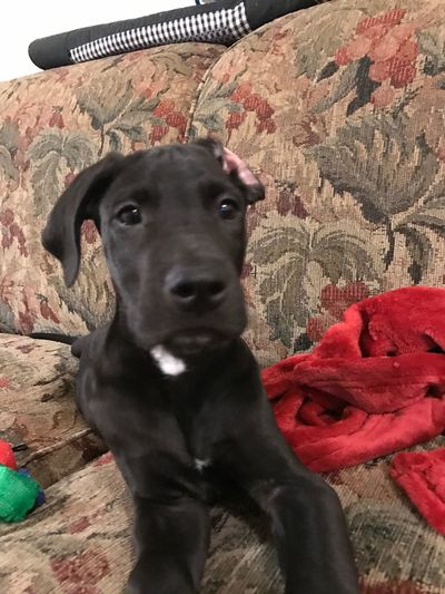 Dysfunctional puppy Dysfunctional Puppy Black Lab Looking At Camera Dog Close-up Messy Puppy Great Dane Puppy Ear Indoors  Couch Blanket No People Domestic Animals One Animal Pets Mammal Animal Themes Puppy Dog Face Cute Puppy Nose PuppyLove