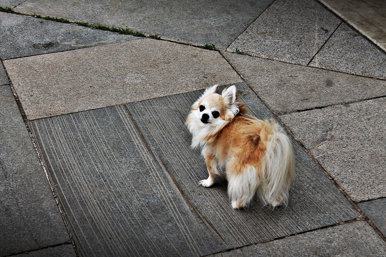 pets, one animal, domestic animals, dog, animal themes, mammal, sidewalk, looking at camera, portrait, animal, cute, street, sitting, outdoors, pomeranian, day, no people