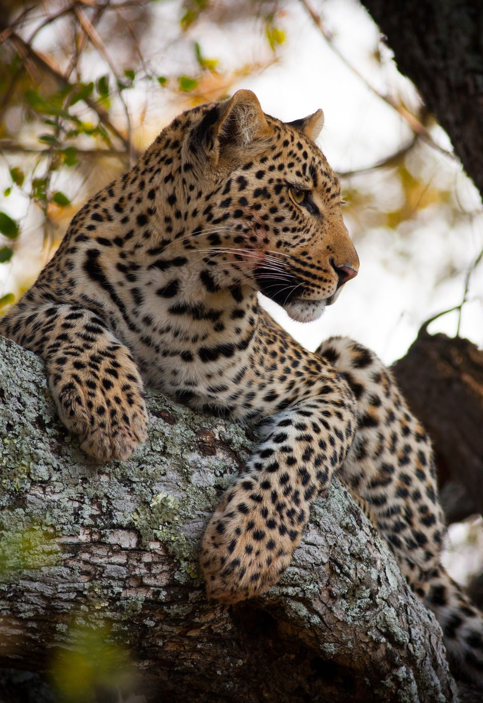 Beautiful stock photos of leopard, African Leopard, Animal Themes, Animals In The Wild, Branch