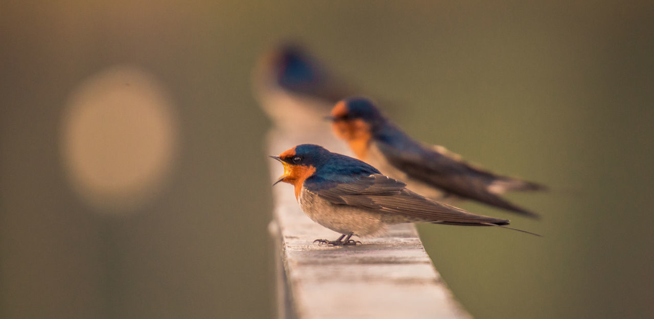 Welcome swallow - (Hirundo neoxena) 500mm Animal Themes Animal Wildlife Animals In The Wild Beauty In Nature Bird Bird Call Birding Close-up Hirundo Neoxena Nature Outdoors Outdoors Photograpghy  Perching Sigma Lens Sony Photography Sunrise Time Swallow Welcome Swallow Wildlife Photography