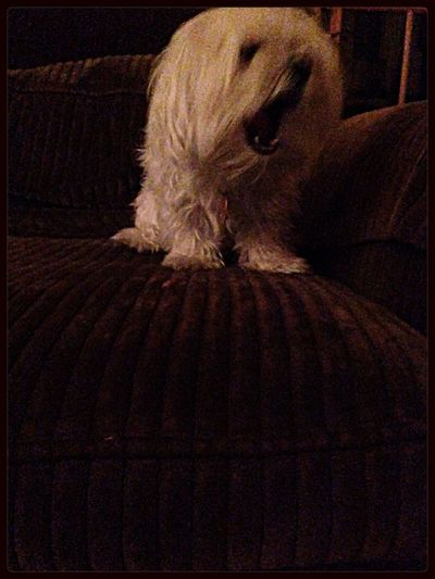 More adventures with Jax the wild Maltese Cali Dog Portrait