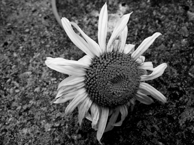 Appassito Bianco E Nero Black And White Daisy Die End Of Life EyeEm Best Shots EyeEm Gallery EyeEm Nature Lover EyeEmBestPics Fine Fiore Flower Margherita Morte Time Withered Flower