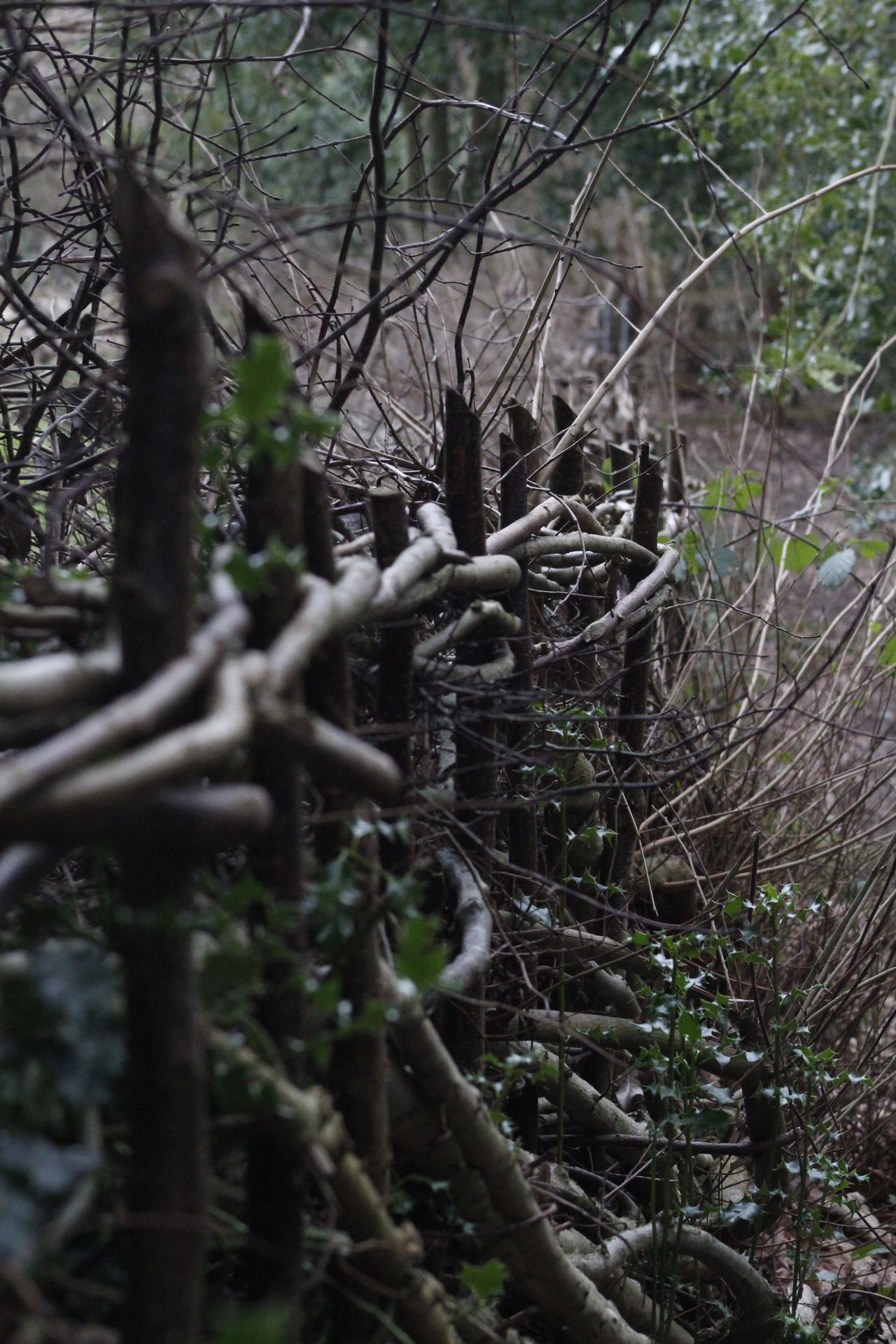Hedge laying is an art Country Hedge Laying Hedgerow Nature No People Outdoor Sticks Tradition Weave