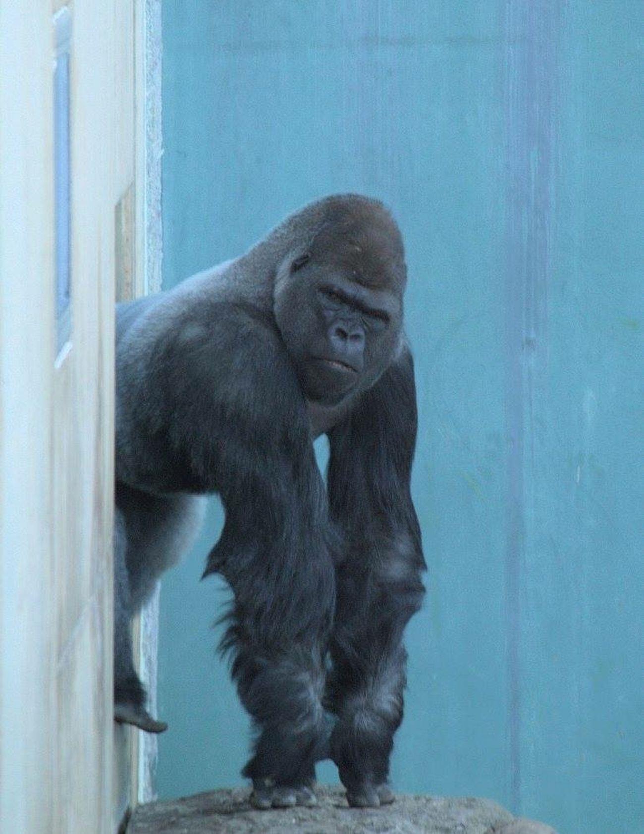 Gorilla Nature Zoo Animals  Alpha