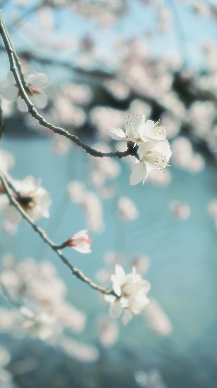 flower, fragility, beauty in nature, nature, white color, branch, blossom, growth, springtime, tree, petal, no people, freshness, twig, day, close-up, outdoors, flower head, blooming, sky