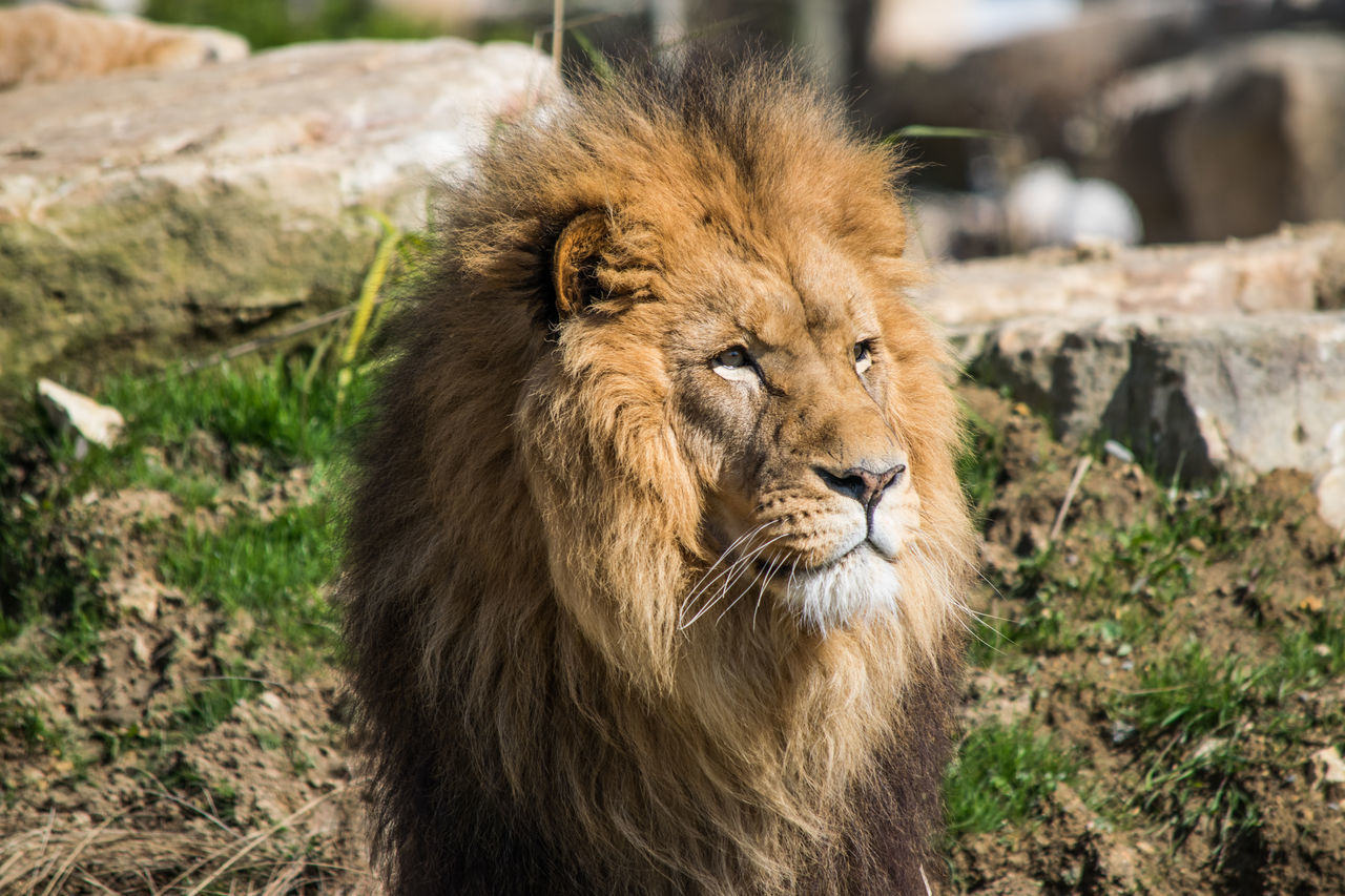Lion Adult Africa Animal Themes Animal Wildlife Animals In The Wild Backgrounds Beauval BIG Cat Close-up Day Face Isolated King Lion Lion - Feline Looking Male Mammal Nature No People One Animal Outdoors Wildlife