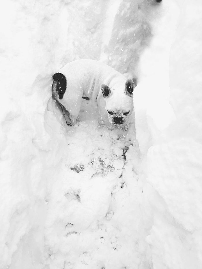Winter Snow Cold Temperature Outdoors No People Cute♡ White Frenchie Dog Bulldog Blackandwhite