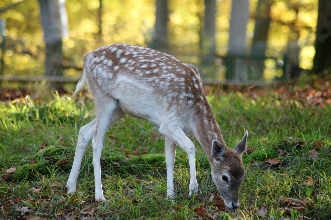 one animal, animal themes, animals in the wild, animal wildlife, deer, mammal, day, field, nature, grass, young animal, no people, focus on foreground, green color, outdoors, forest, full length, portrait, domestic animals