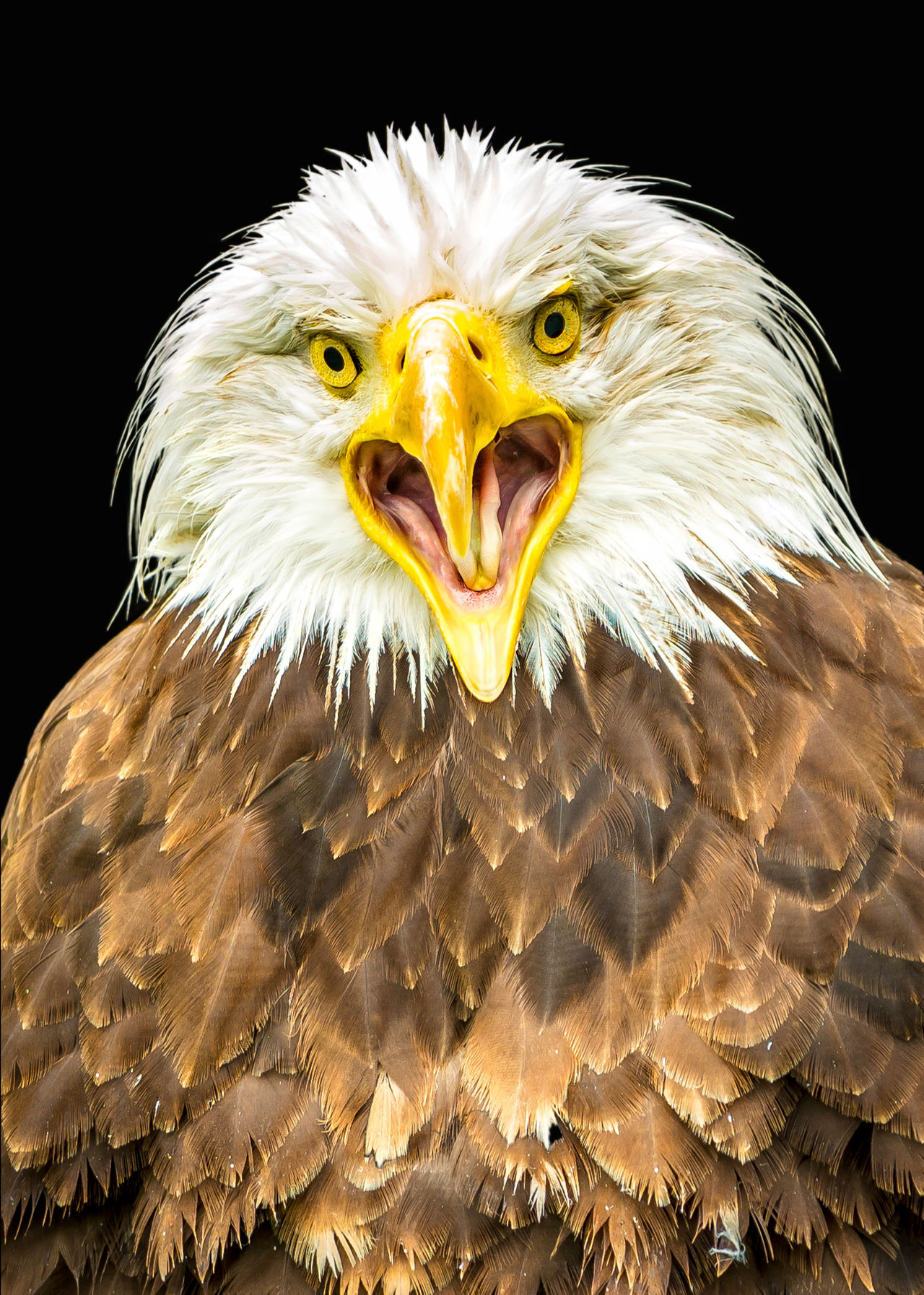 Eagle - Bird Bird Of Prey Close-up Portrait Bird No People Vogel Nature Animal Themes Portraits Animal Skin Adler Eagle Portrait Eagle Wild Animals In The Wild One Animal Animal Wildlife EyeEm Nature Lover Animal Animal Head  EyeEm Best Shots EyeEmBestPics Tierfotografie Birds Of EyeEm