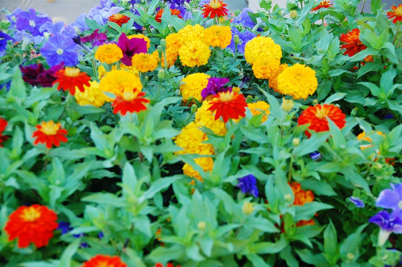 Multi Colored Flowers Blooming In Garden