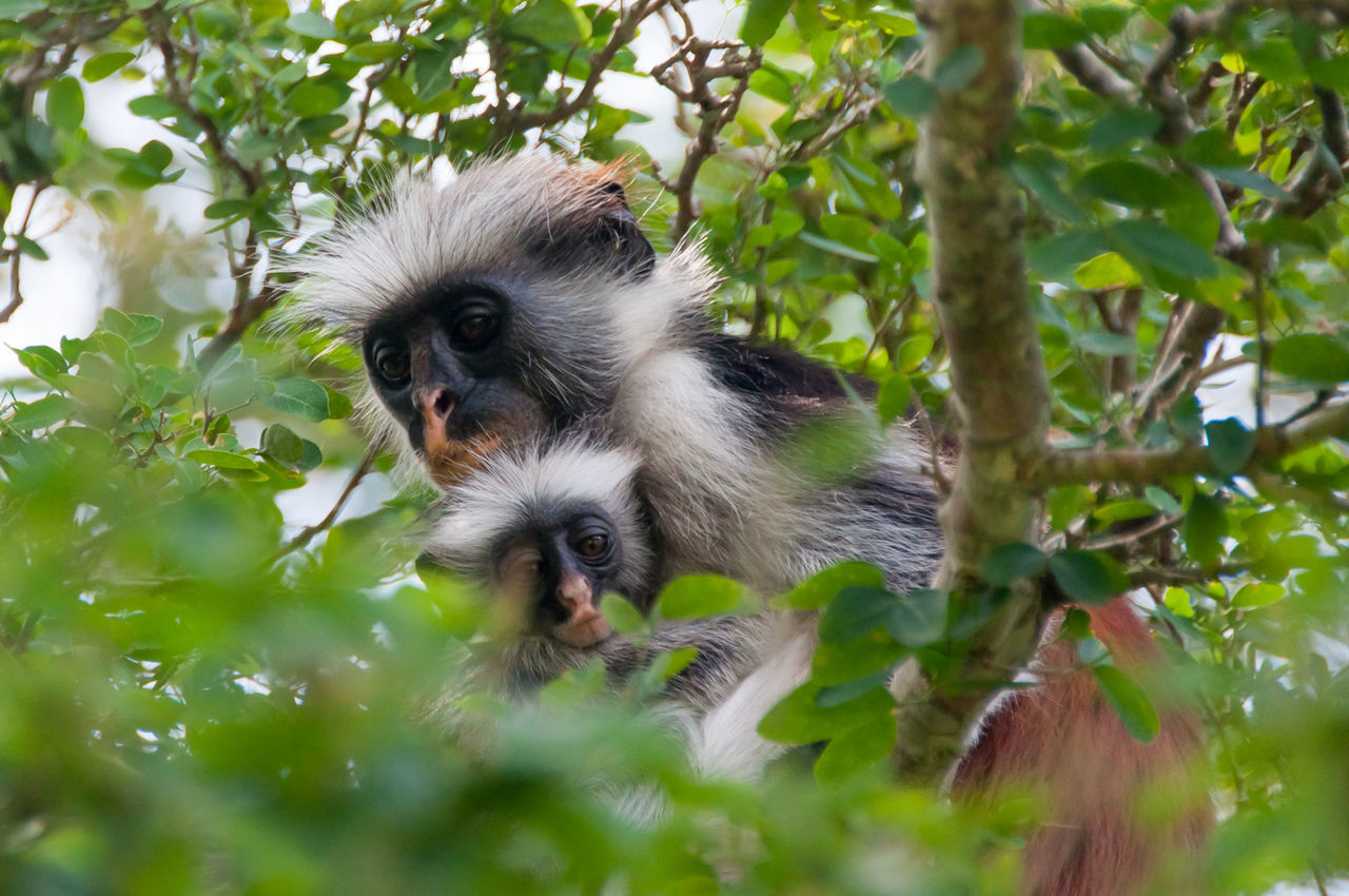 Low Angle View Of Red Colobus Monkeys On Tree At Jozani Chwaka Bay National Park