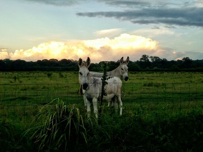 Country Life Farm Animals Evening Sky Evening Light Pasture Land Pasture, Paddock, Grassland, Pastureland Donkeys Donkey Time Donkey Animals Sky And Clouds Cloud Explosion Showcase July Mississippi Summer Cloud_collection  Eyeemphoto