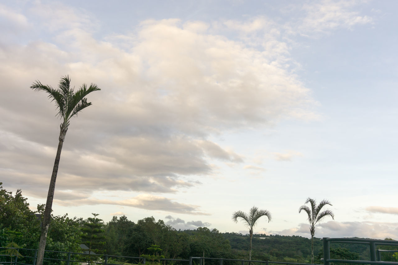 tree, sky, palm tree, cloud - sky, nature, beauty in nature, scenics, tranquil scene, tranquility, growth, outdoors, day, no people, low angle view, tree trunk