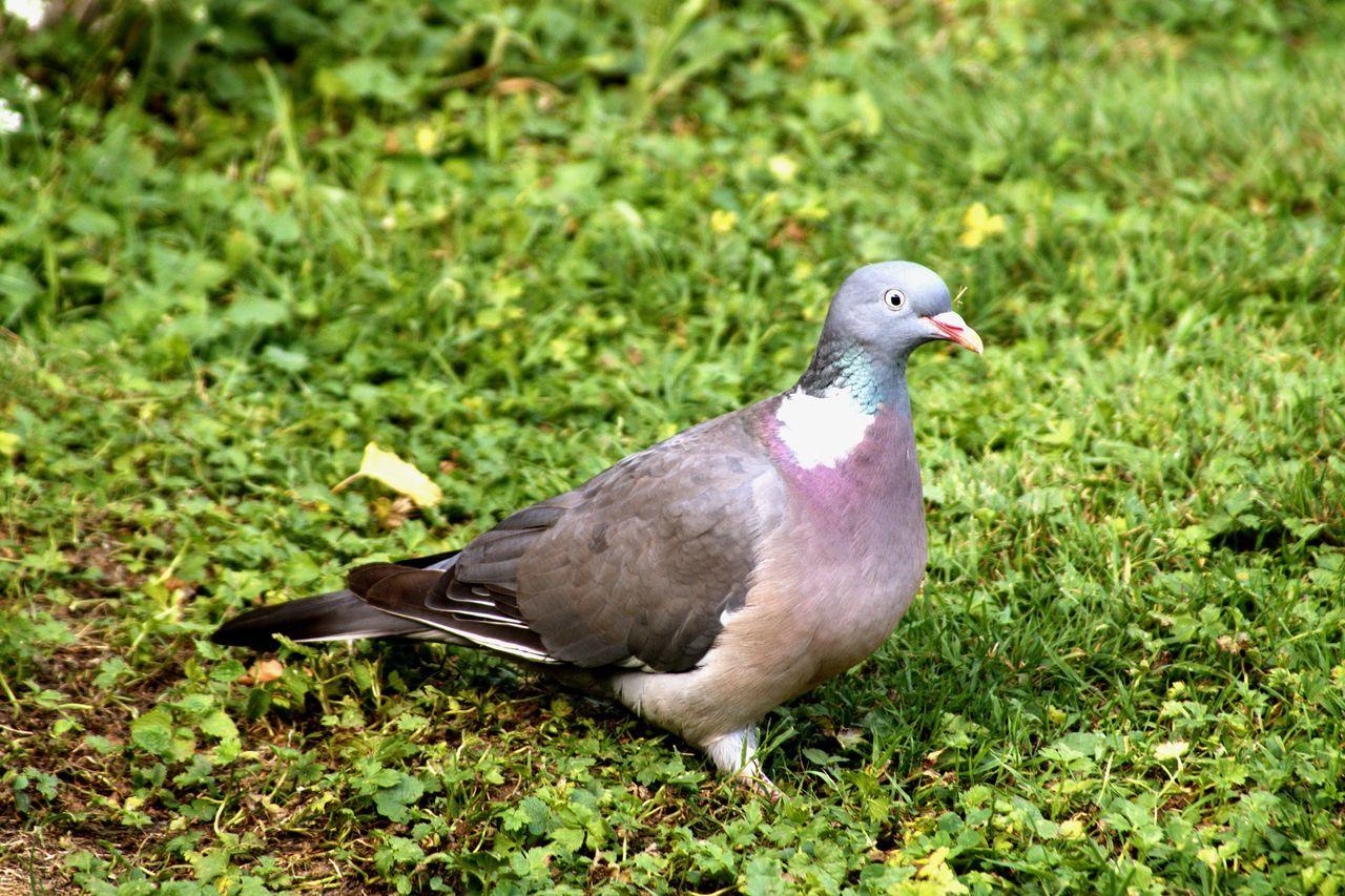 Beautiful stock photos of friedenstaube, bird, animals in the wild, animal themes, bird of prey