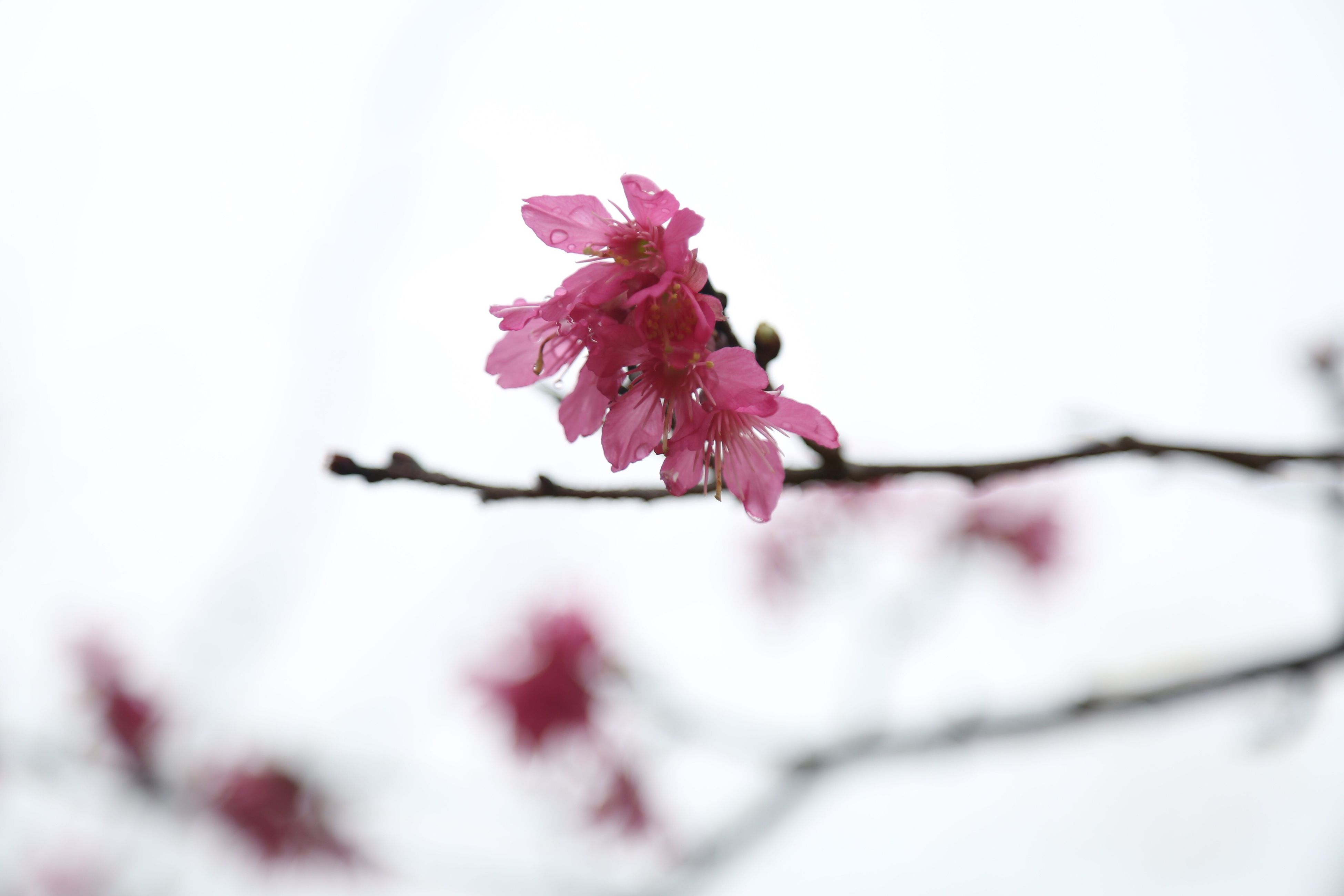 flower, fragility, nature, growth, beauty in nature, freshness, pink color, petal, no people, flower head, close-up, plum blossom, springtime, sky, blossom, day, outdoors, branch, tree, rhododendron