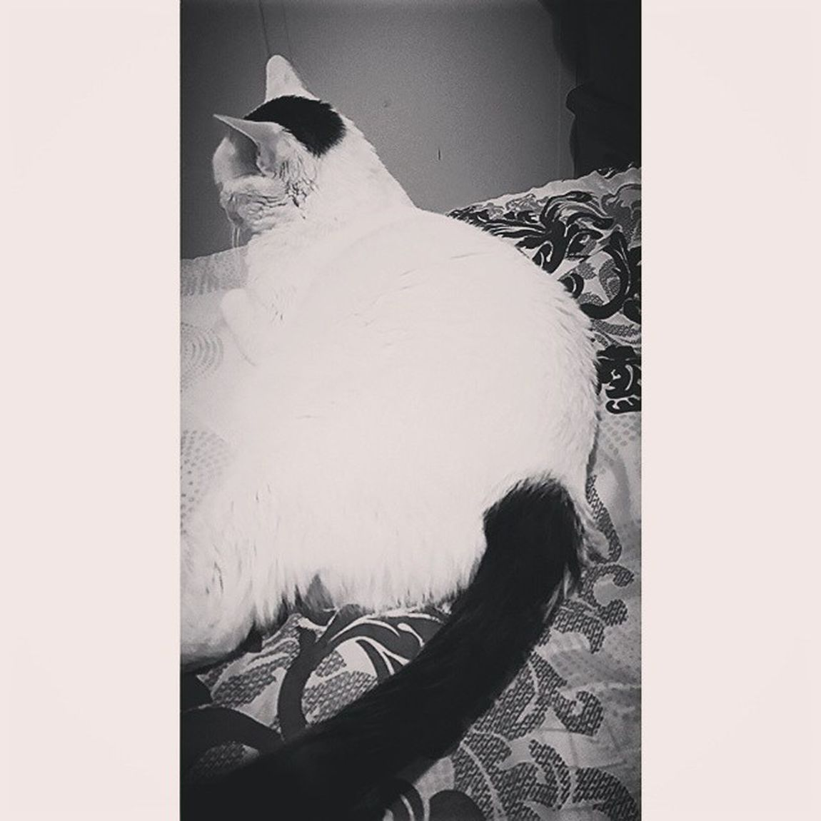 Cats Blackandwhite Turkish Van Cat Breed Eyeem_allshots Popular Photos Eyeem-bnw