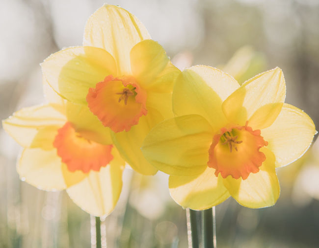 spring flowers Beauty In Nature Close-up Daffodil Daffodil Bloom Daffodils Daffodils Flowers Daffodils In The Sun Flower Bud Flower Sunrise Flowers Flowers,Plants & Garden Nature Outdoors Spring Spring Flowers Spring Has Arrived Spring Into Spring Springtime Tree Bud Tree Flowers