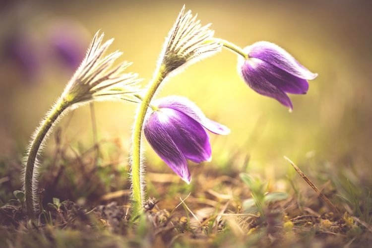 Made In Romania Romantic❤ Reci Forest Pulsatilla Vulgaris Dedițel Spring Spring Flowers