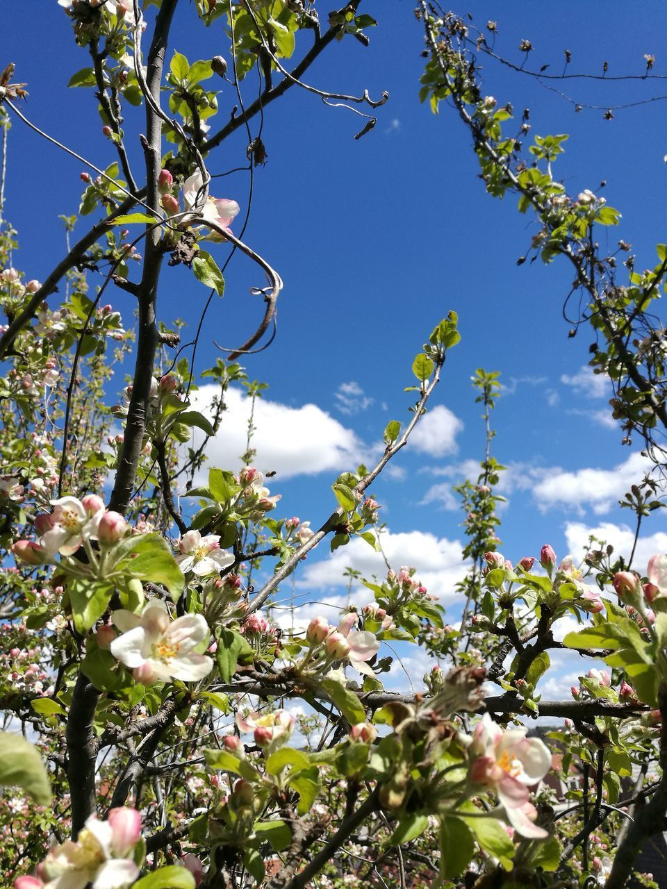 flower, growth, blossom, tree, fragility, nature, branch, beauty in nature, springtime, apple tree, freshness, apple blossom, orchard, botany, no people, day, twig, low angle view, spring, petal, outdoors, blooming, close-up, sky, flower head