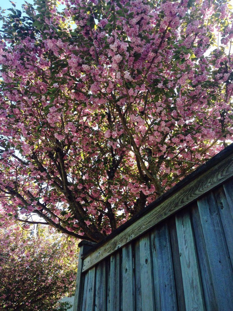 Blooming Tree HalfMoonBay Beauty In Nature Fence Tree TreePorn @Gypsyculu