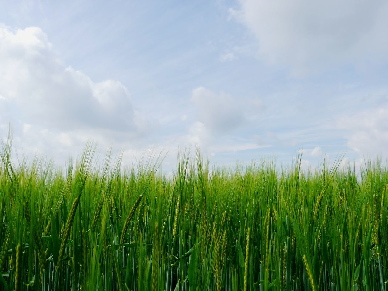Spring days... The Great Outdoors - 2017 EyeEm Awards Growth Cereal Plant Nature Green Color Agriculture Crop  Rural Scene Day No People Field Outdoors Cloud - Sky Beauty In Nature Grass Sky Freshness Close-up BYOPaper! Live For The Story