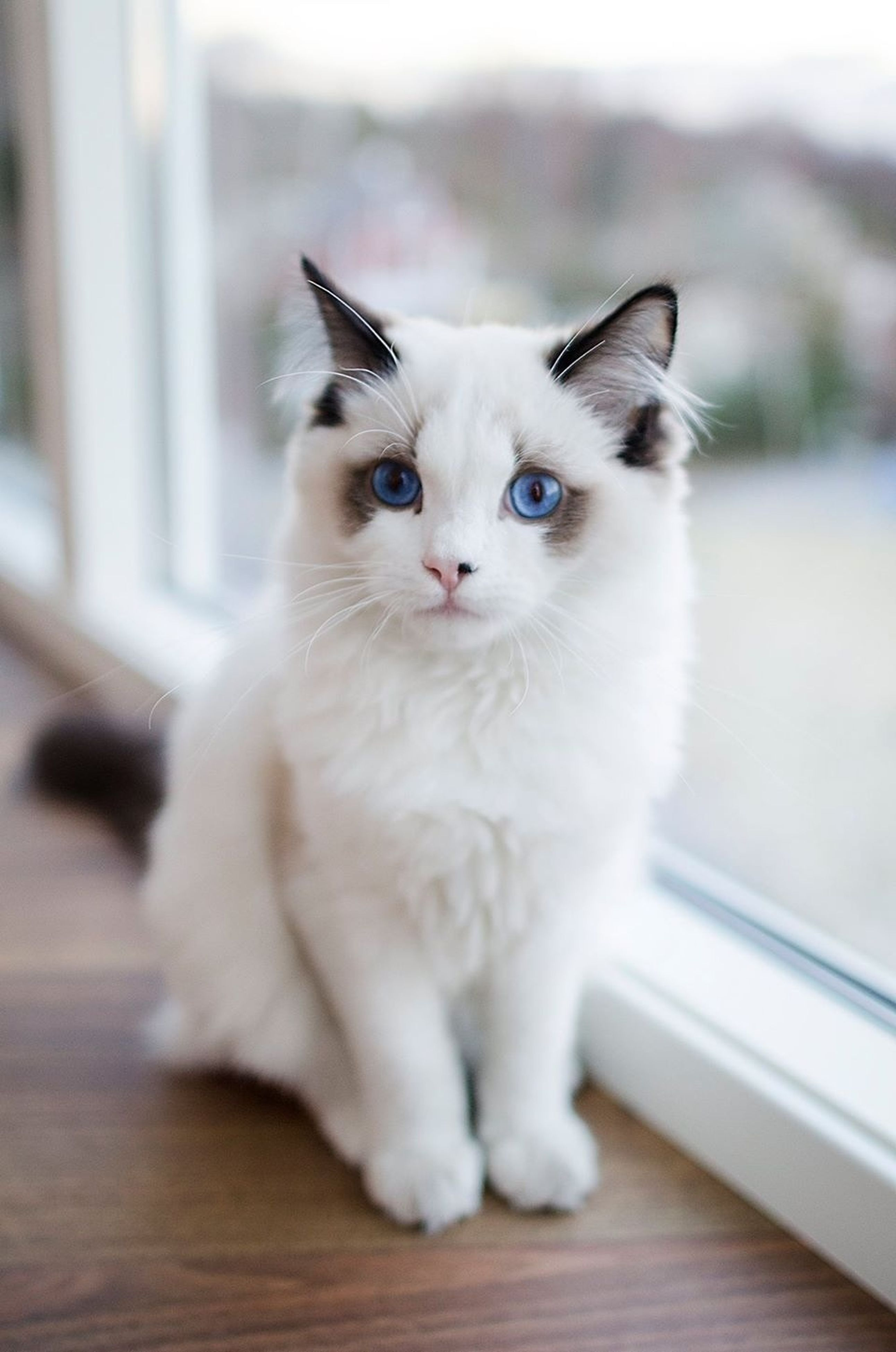 domestic cat, cat, pets, domestic animals, feline, animal themes, one animal, mammal, whisker, indoors, portrait, looking at camera, sitting, relaxation, close-up, home interior, focus on foreground, white color, alertness