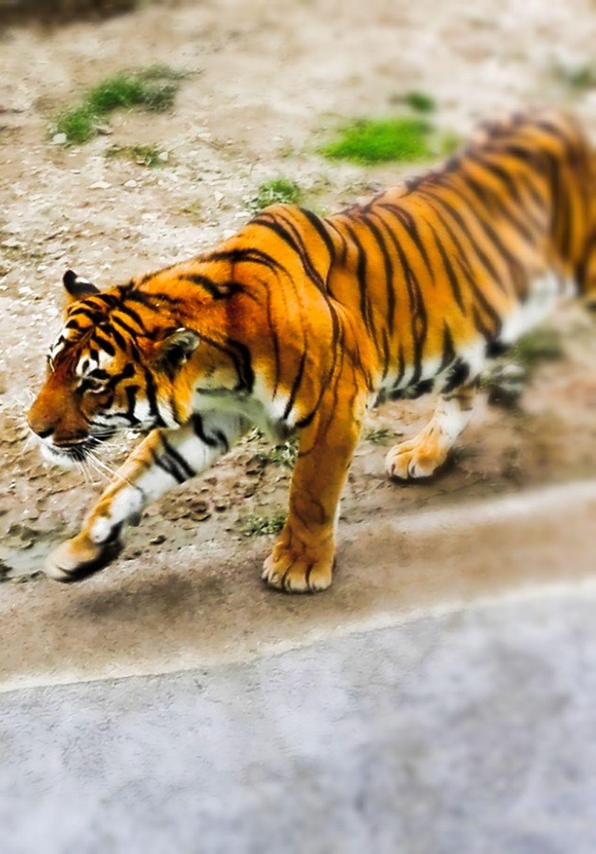 Animal Themes Tiger Animal Wildlife Carnivora ZOO-PHOTO Nature Nature Photography animal beauty Tuzla,Bosnia And Herzegovina