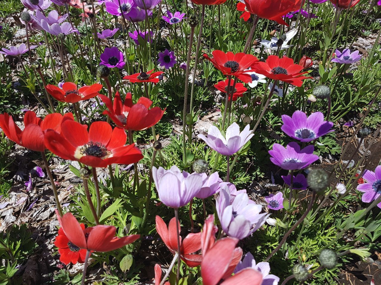 Flower Plant Fragility Red Beauty In Nature Petal Nature Freshness No People Close-up Leaf Flower Head Day Outdoors Poppy Flowers Perennial