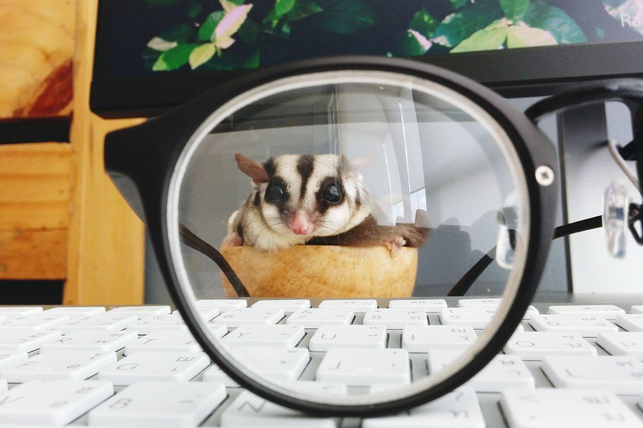 Sugar Glider Seen Through Eyeglasses On Keyboard
