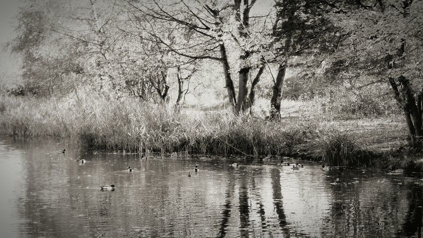 Autumn Ducks Sea Lake Enten Ententeich Entenmama Entenbabys Outside :-) Outside Photography Autumn Colors Herbst2015 Herbst Wonderfullife Nature_collection Lifetimestories Lifethemoment Naturelovers See Herbststimmung Entenrennen Nostalgic Landscape Schwarz & Weiß Black & White