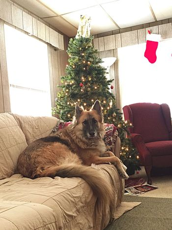 Rocky caught on the new couch! Christmas Tree Tree Pets Christmas Iphonephotography Rocky GSD Kent Ohio Dog Looking At Camera One Animal No People Celebration Tradition Christmas Stocking Home Interior Animal Animal Themes Domestic Animals Living Room Christmas Decoration Mammal Day