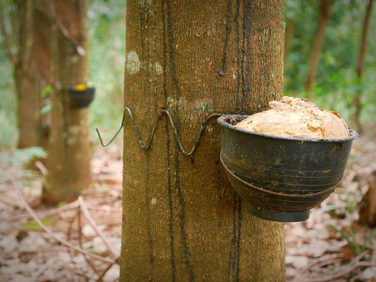 Tree Tree Trunk No People Focus On Foreground Day Outdoors Nature Close-up Rubber Trees EyeEmNewHere