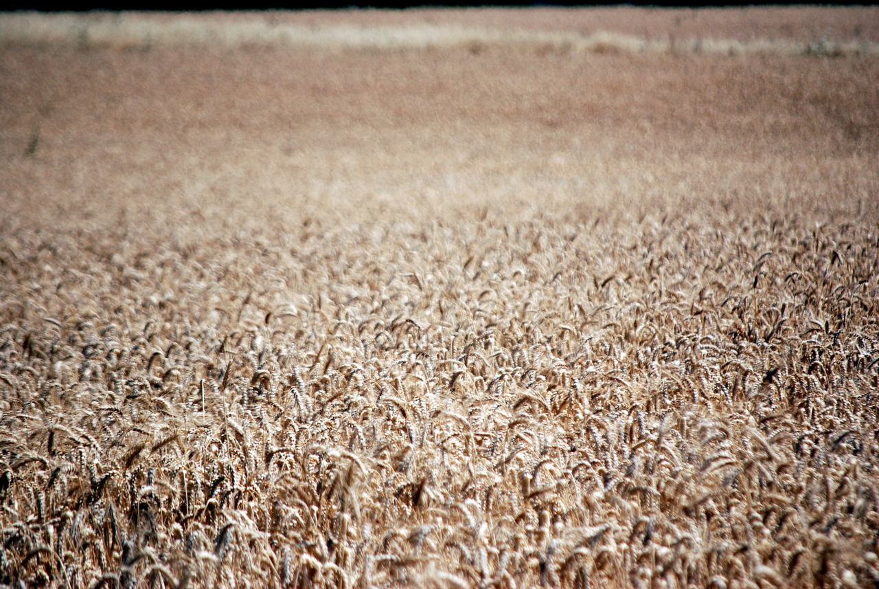 Country Living Field Food Source Harvest Highway View Oregon Tan Wheat Wheat Field