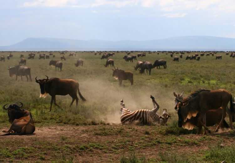 Nature Landscape Wildlife & Nature Wildlife Tanzania Serengeti National Park Africa Zebra Wildbeast Migration Neighborhood Map The Great Outdoors - 2017 EyeEm Awards